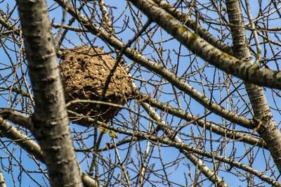 La vespa velutina instal·la els seus nius, preferentment, a les branques altes dels arbres (foto: Ajuntament de Rubí).