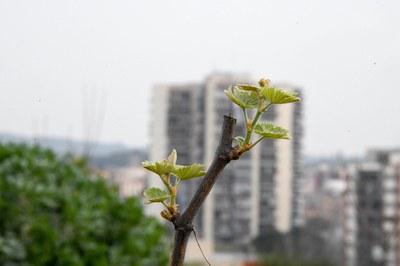 Un dels ceps que s'han plantat als horts municipals (foto: Ajuntament de Rubí – Localpres).