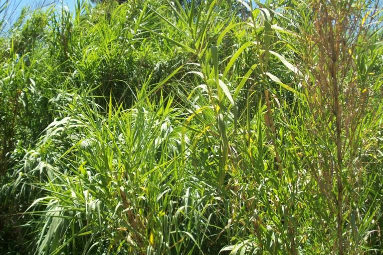 Canya (Arundo donax)
