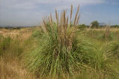 Plomall (Cortaderia selloana).