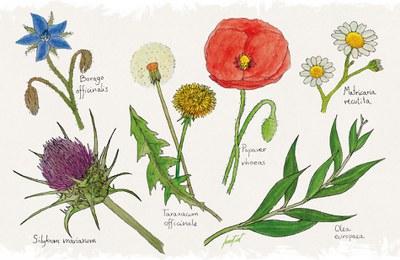 3, 14. Júlia Herranz - Plantes medicinals.